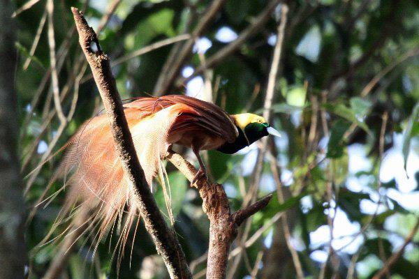 熱帯の森に棲む極楽鳥の仲間たちの「デートスポット」