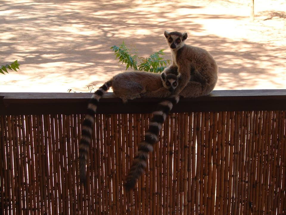 マダガスカルのワオキツネザル