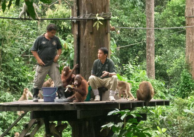 シャングリラ・ラサリア・リゾート宿泊者優先(定員制)のオランウータン探しツアー