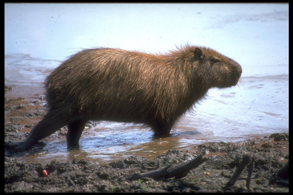 ブラジルのパンタナール湿原で野生のカピパラに会いに行こう!