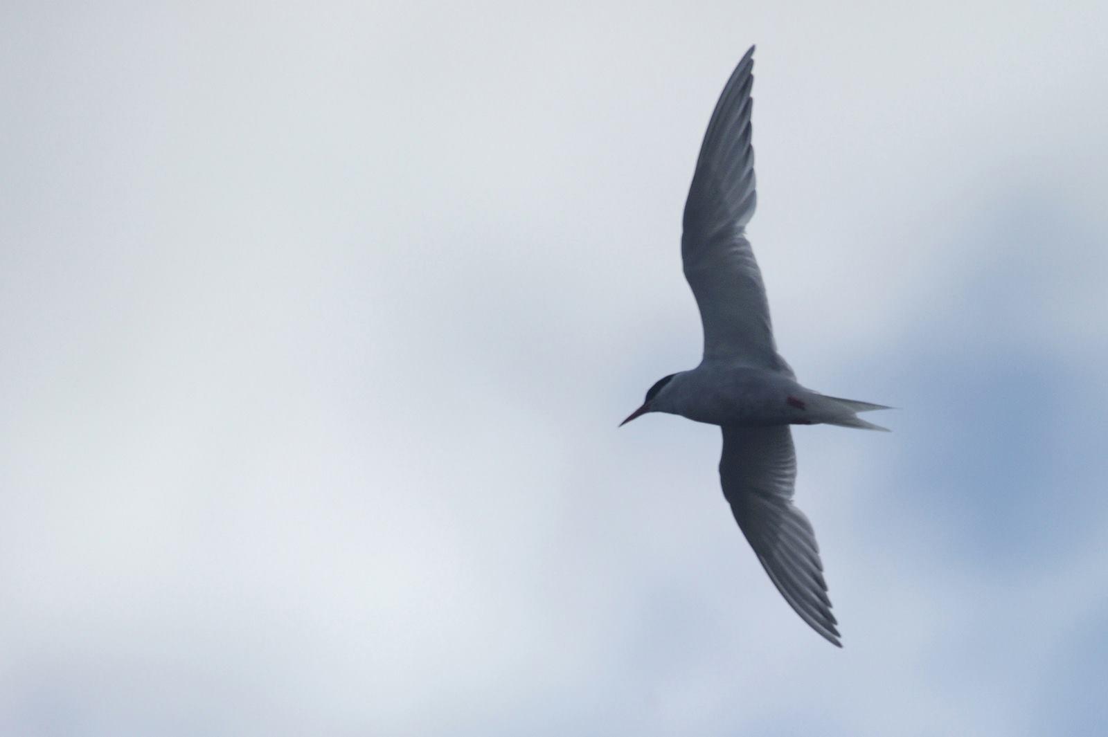 両極端が好きな鳥『キョクアジサシ』