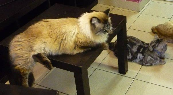 ロシアの猫