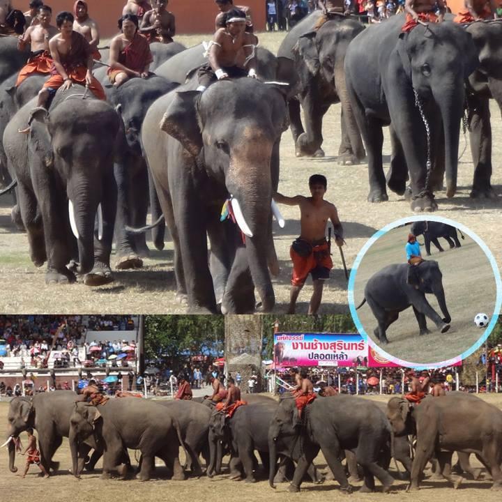 まさに象さんパラダイス!スリン象祭り!