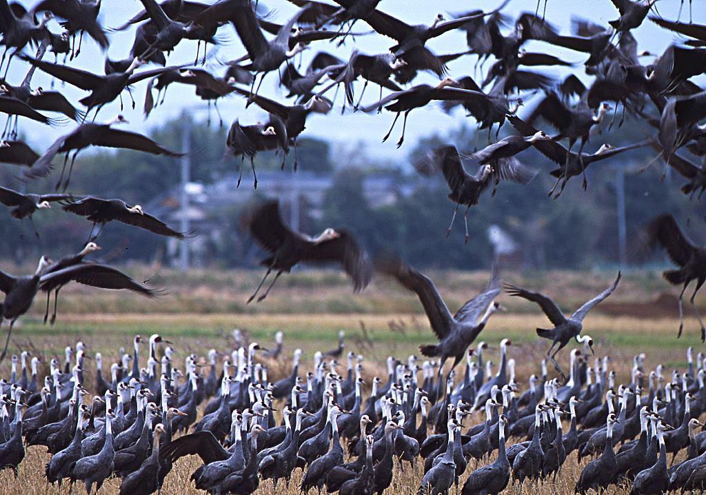 ツルに襲いかかる鳥インフルエンザの脅威