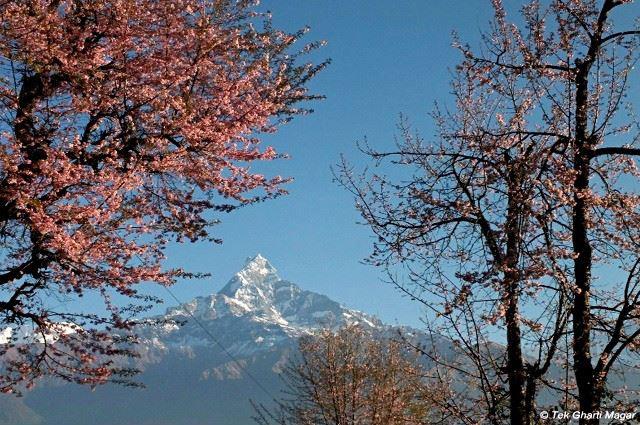 冬に咲くヒマラヤ・ザクラのお話 from NEPAL