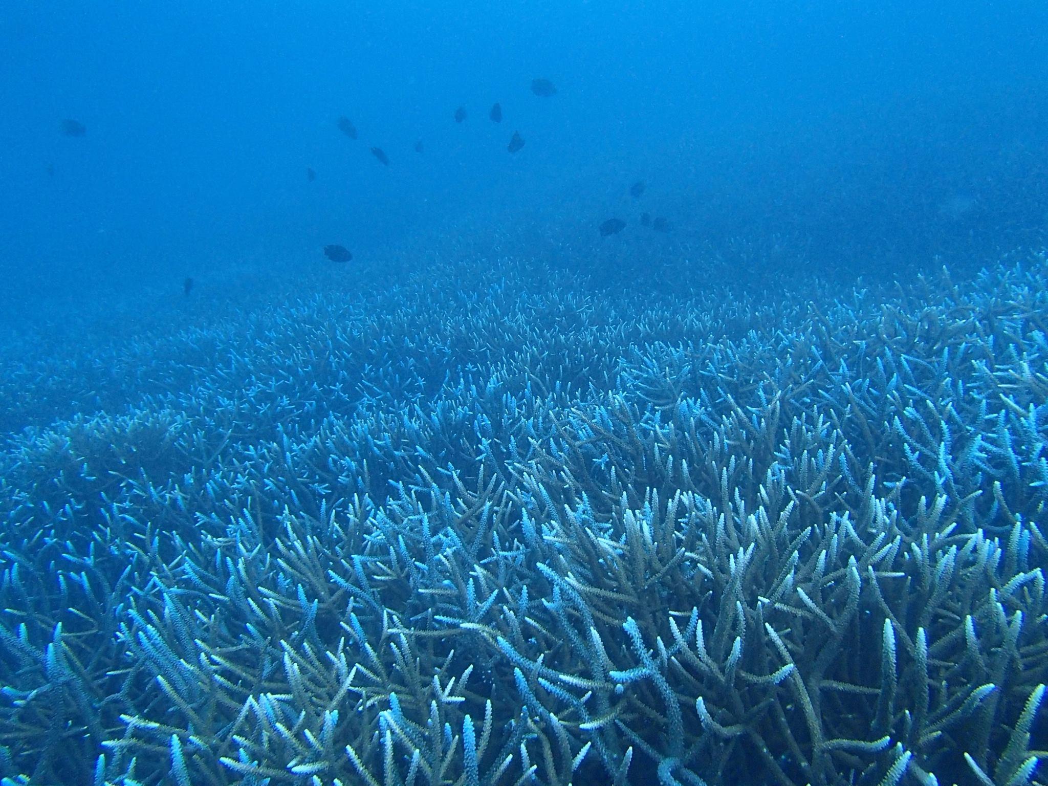 小笠原諸島で見ることのできる『枝サンゴ』について