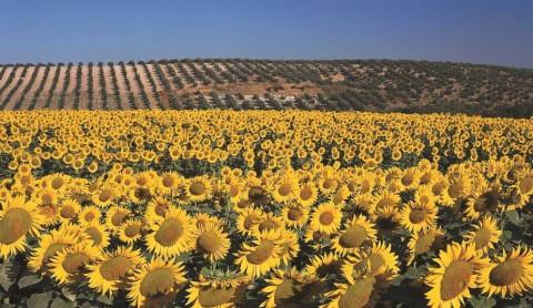 アンダルシア地方のひまわり畑