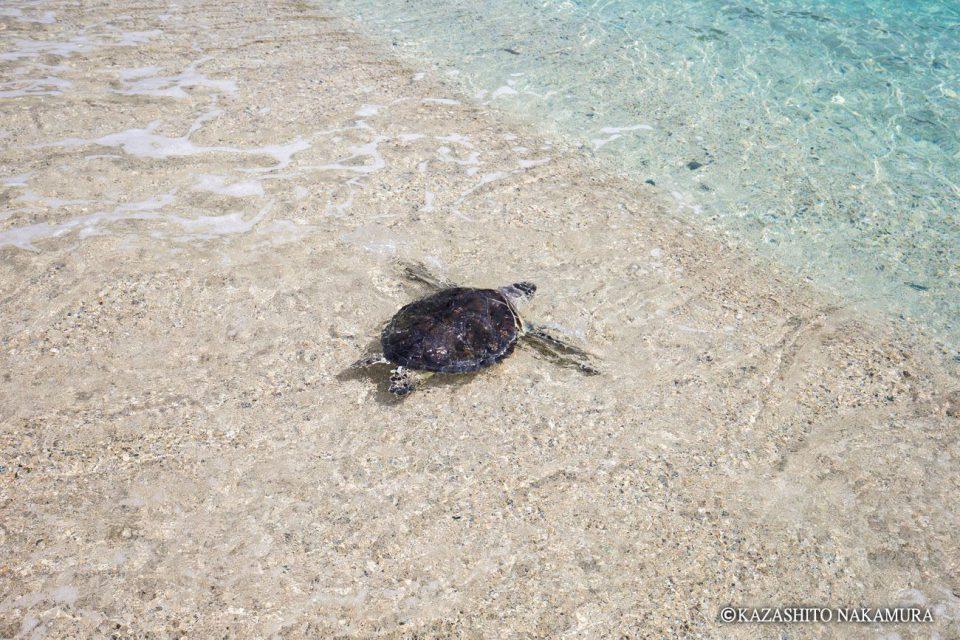 小笠原は日本一の「アオウミガメ」の産卵地