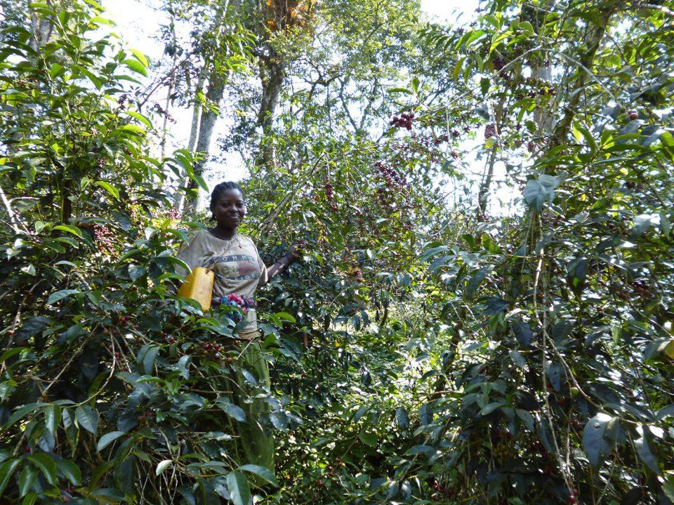 エチオピア・コーヒー 原木の森を訪ねる 8日間