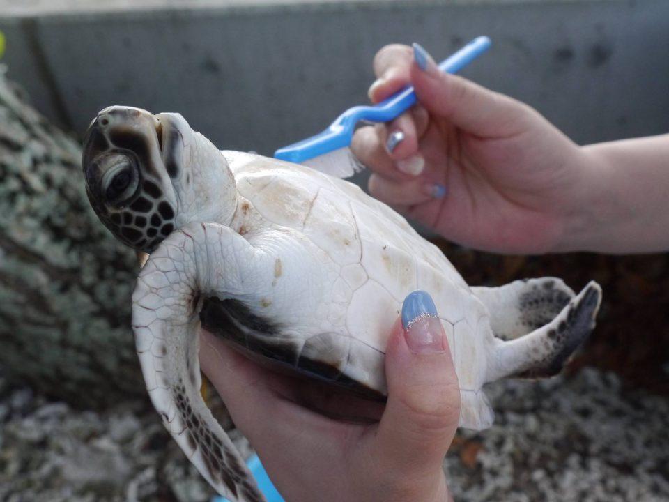 父島の小笠原海洋センターで子ガメの甲羅磨き&放流体験