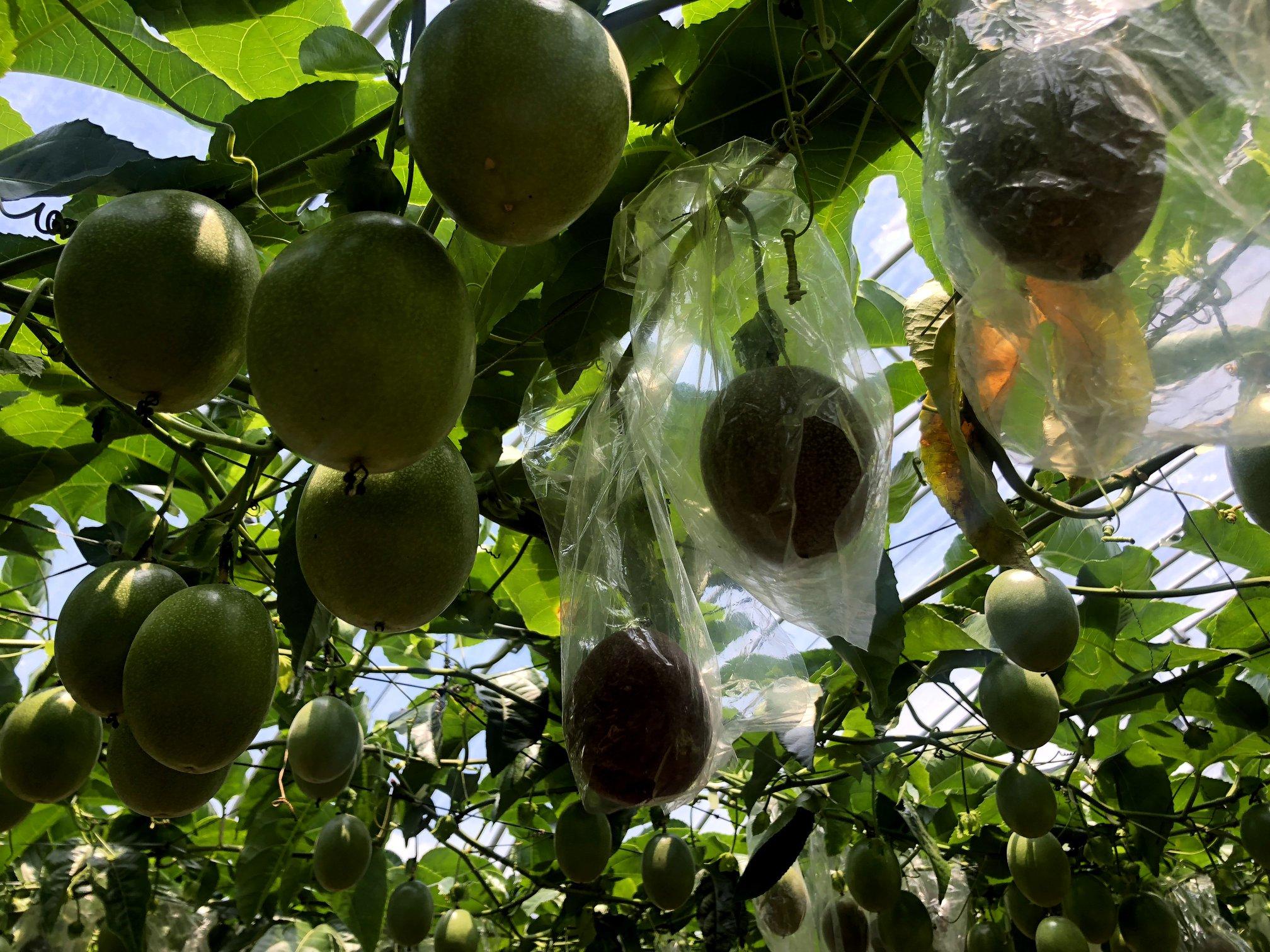 小笠原諸島のパッションフルーツ収穫方法